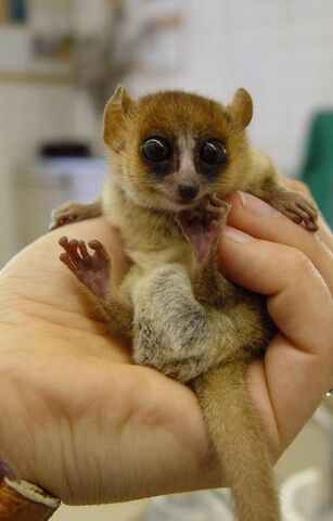 File:Goodmans mouse lemur.jpg