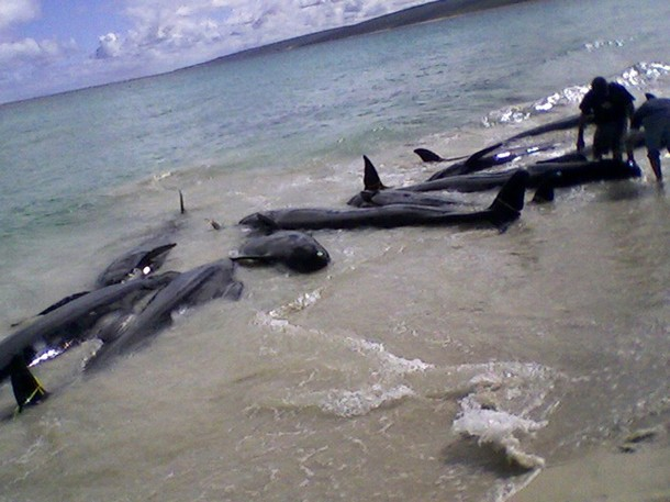 File:BeachedWhalesDolphins3-23-2009.jpg