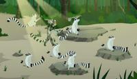 Lemur stink fight.Wk.14