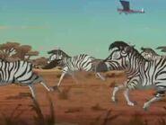 Zebras Galloping