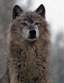 Dark Gray Wolf