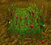 Bloodberry Bush