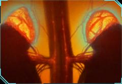 Adrenal Neurosympathy