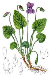 Viola uliginosa Sturm53