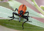 Belidae wpe147 Rhinotia haemoptera