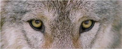 File:400px-Wolf-eyes.jpg