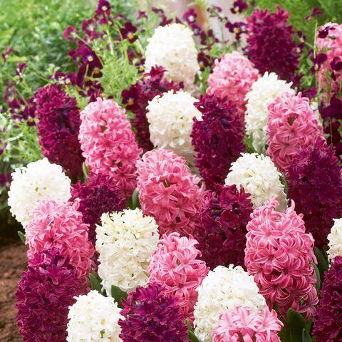File:Hyacinth2.jpg