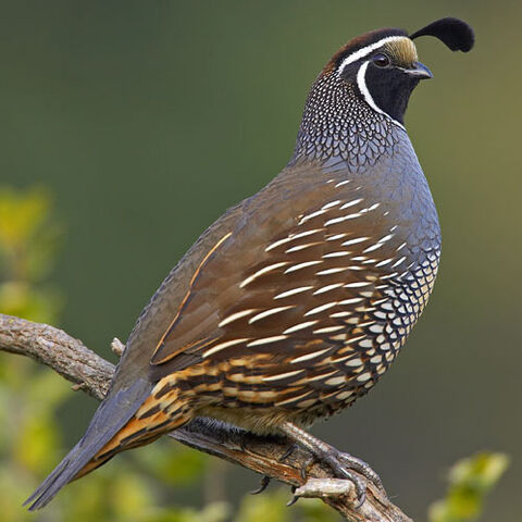 File:California-quail.jpg