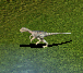 Baby Herrarasaurus