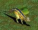 Baby Lambeosaurus