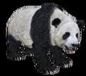 RR panda