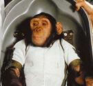 Chimpanzee Ham in Biopack Couch - cropped