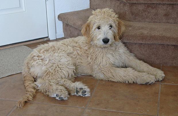 File:Goldendoodle-Dogs.jpg