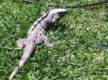 Iguana I saw in Mexico