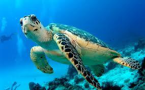 Resultado de imagen para tortuga caguama