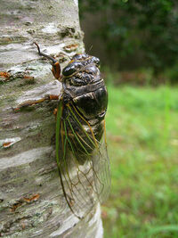 GiantCicadaIRL