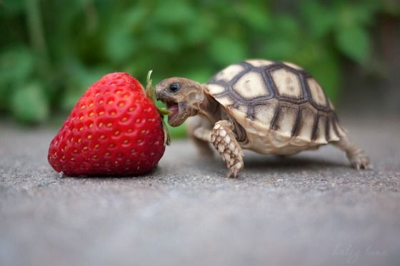 File:Lol turtle om nom nom.jpg