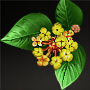 File:Sweet-Scented Osmanthus.png