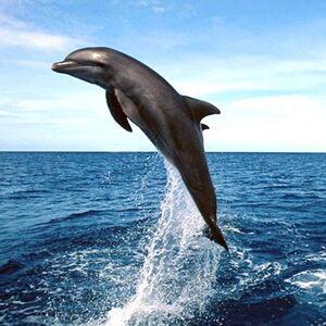 Lovina-dolphins-somersault