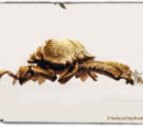 Mountain Meat Beetle