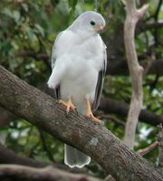 Grey Goshawk Dayboro Apr02