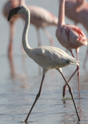 Lesser Flamingo (Phoenicopterus minor) juvenile - Flickr - Lip Kee (1)