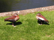 Bellied Whistling-Duck 3