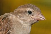 House sparrow portrait