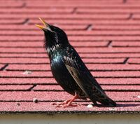 Birdsinging03182006