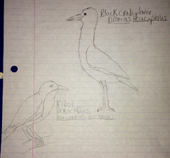Frost Donacobius and Black Crab Plover