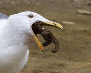 Western Gull eating starfish