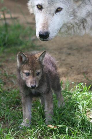 File:Wolf7.jpg