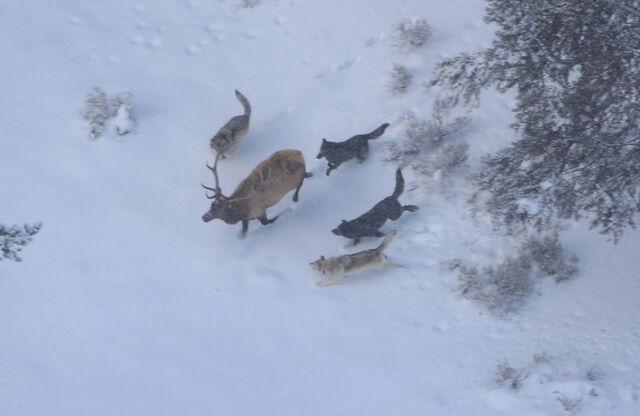 File:Wolves-hunting-an-elk2-1-.jpg
