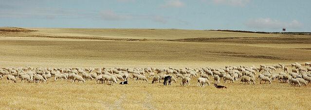 File:800px-Meseta herd.jpg