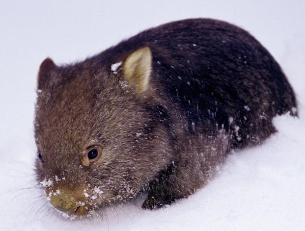 File:Antarctic Wombat.jpg
