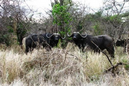 Hunting-cape-buffalo