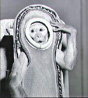 Monkey Sam Before The Flight On Little Joe 2