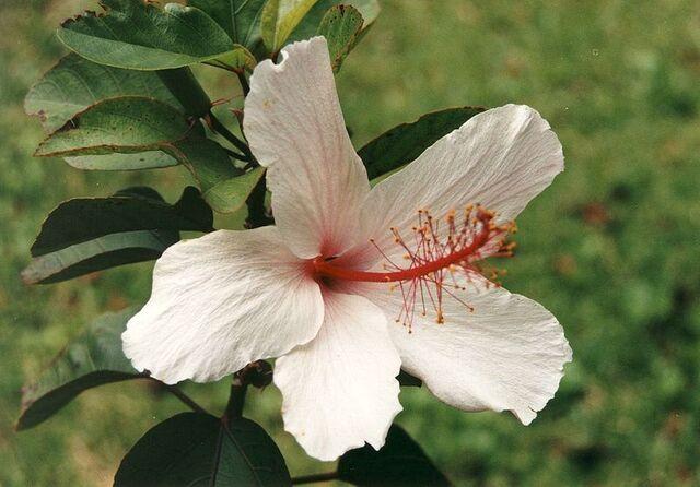 File:800px-Hibiscus arnottianus1.jpg