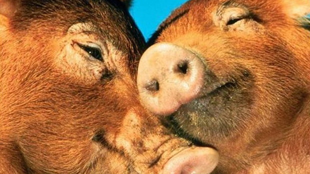 File:Awww... cute and adorable piggies!.jpg