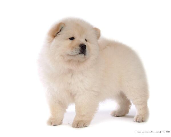File:Chow-Chow-Puppy-Wallpaper-puppies-13936805-1280-1024.jpg