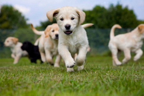 File:Golden-Labrador-puppy-running-towrds-the-camera-with-other-puppies-in-the-background1.jpg