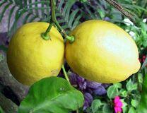Lemonfruit