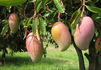 Mangofruit
