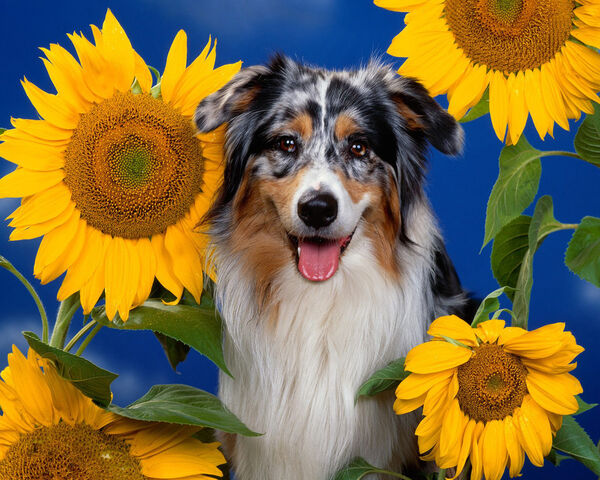 File:Dog in sunflowers.jpeg