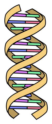 File:DNA-equal-grooves.png