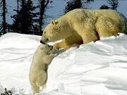 Polar-bears 242 600x450