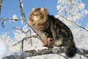 Siberian-forest-cat-1