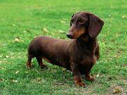 Dachshund Animal Central wiki