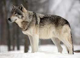 File:068-78013-low wolf.jpg