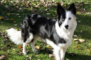 Border-collie-dog-photography